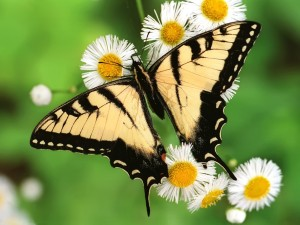 The-best-top-desktop-butterflies-wallpaper-hd-butterfly-wallpaper-19